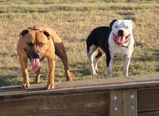 МВД составило перечень потенциально опасных пород собак