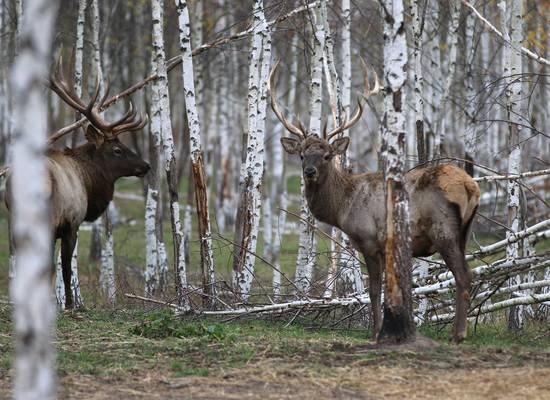 Разрешающий вольерную охоту закон внесён в Госдуму
