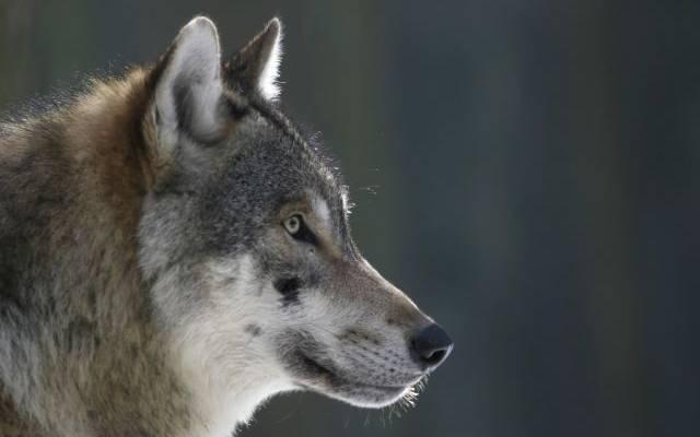 Напавший на людей волк в Крыму оказался больным бешенством