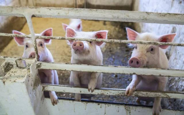 В Приамурье нашли новый очаг африканской чумы свиней