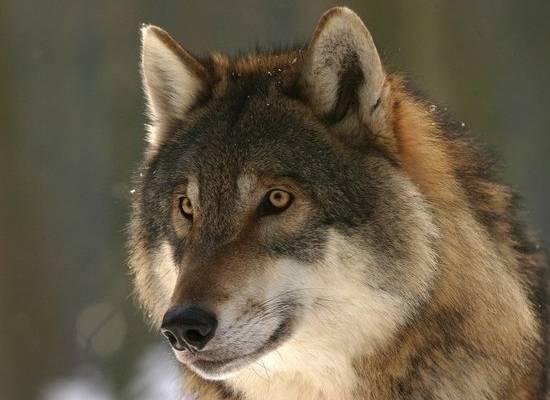 Появилось видео, как в Пермском крае волк утащил собаку