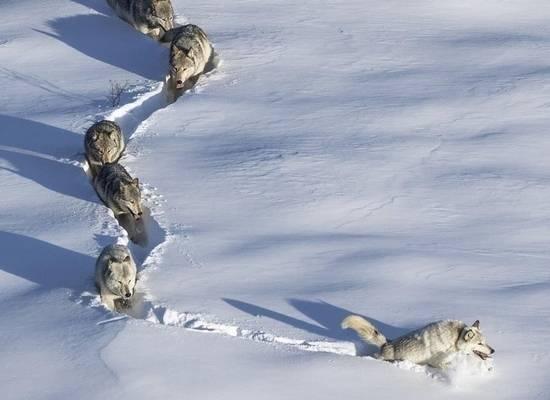 Стали известны подробности о ставшей мемом фотографии «шерстяного волчары»