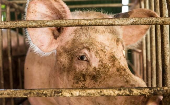 В Китае выявлен новый штамм свиного гриппа. Грозит ли миру новая пандемия?