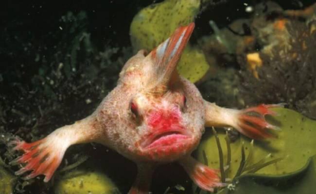 Рыба с ирокезом на голове официально признана вымершим видом