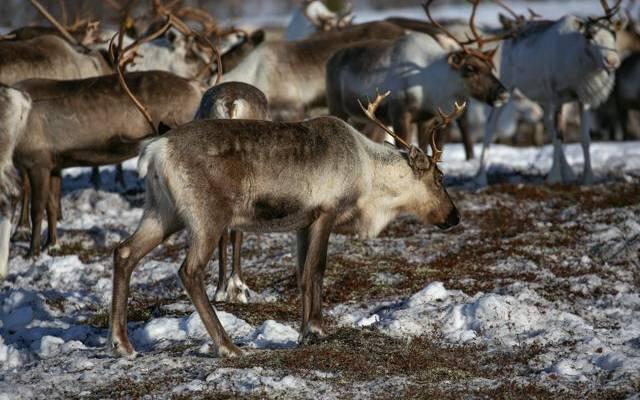 Массовая гибель оленей произошла на Камчатке