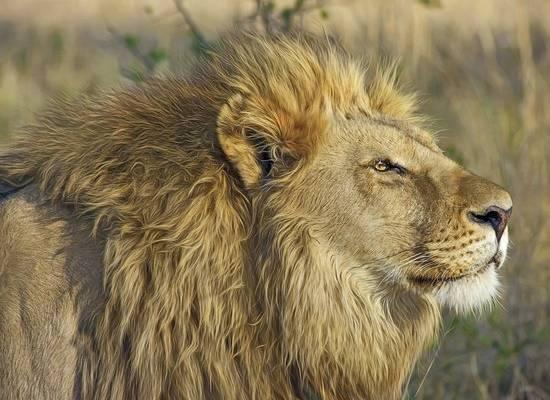 Коронавирус зафиксировали у восьми львов в зоопарке в Индии