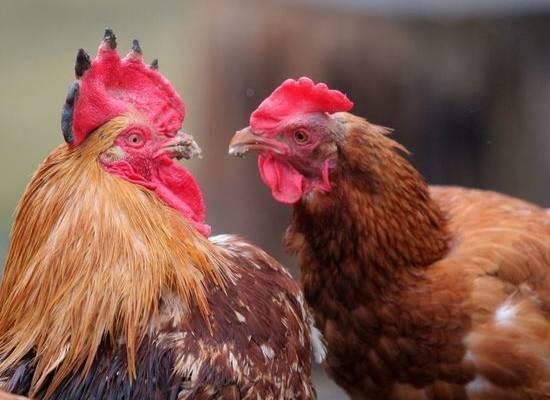 Куриные мозги помогли австралийцу дожить до 111 лет