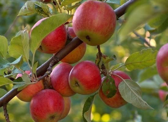 Российским садоводам назвали лайфхаки для омоложения старых яблонь
