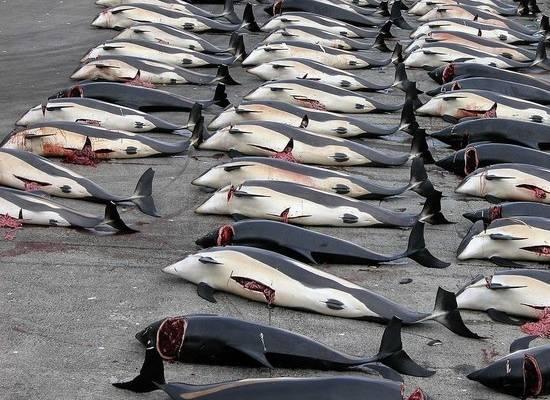 Убийство 1500 дельфинов на Фарерах оказалось бессмысленным: мясо выкинули